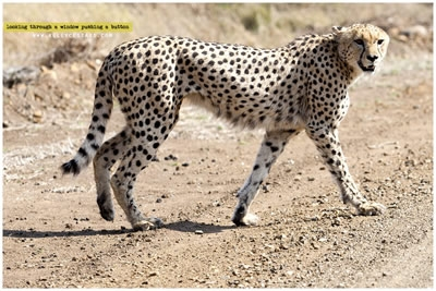 cheetah-and-leopard-id-project