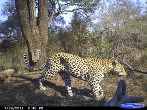 cheetah-leopard-id-project-02